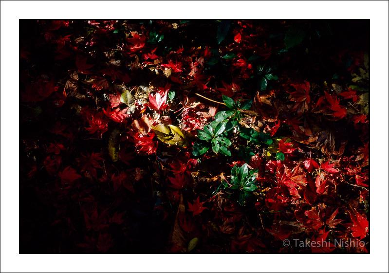赤い落葉 / Red leaves
