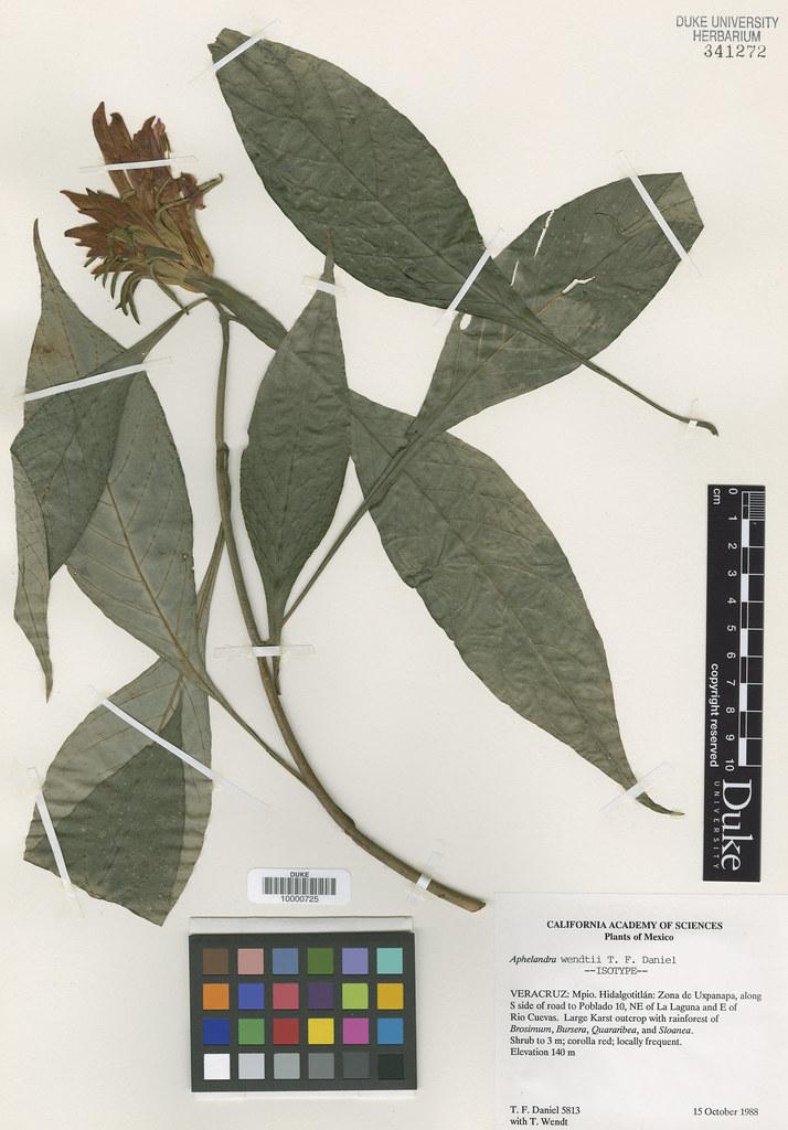 Acanthaceae_Aphelandra wendtii