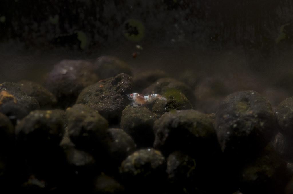 第一次拍到的水蚤