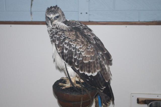 DSC_5359 Martial Eagle
