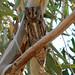Scops Owl (Tim Melling)
