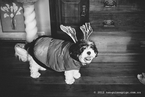 Bernard the Reindeer/ Cavamalt by twoguineapigs pet photography