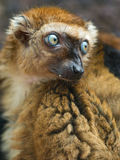 Female Sclater's lemur