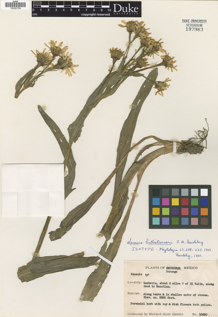 Asteraceae_Senecio billieturneri
