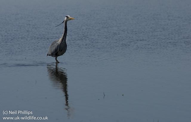 Grey heron_
