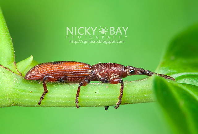 Straight-Snouted Weevil (Brentidae) - DSC_1662