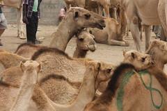 Camel Market (46)