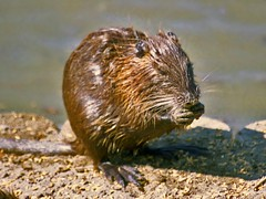 animal, rodent, fauna, muskrat, close-up, whiskers, beaver, wildlife,