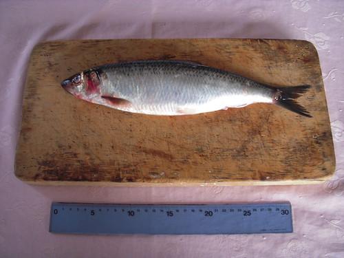 herringNLT