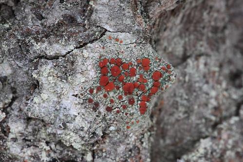 Ophioparma rubricosa