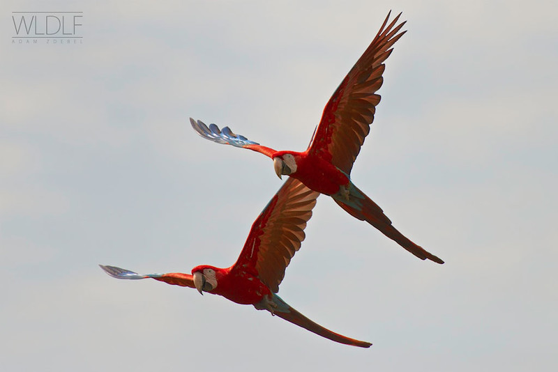 Macaws in flight
