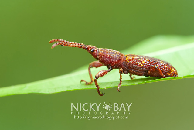Straight-Snouted Weevil (Brentidae) - DSC_1015