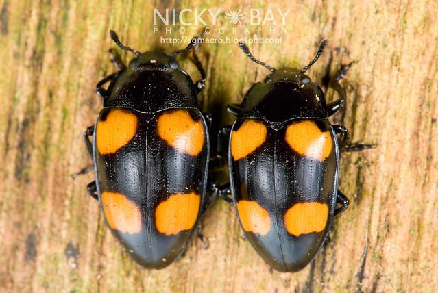 Fungus Beetles - DSC_9462