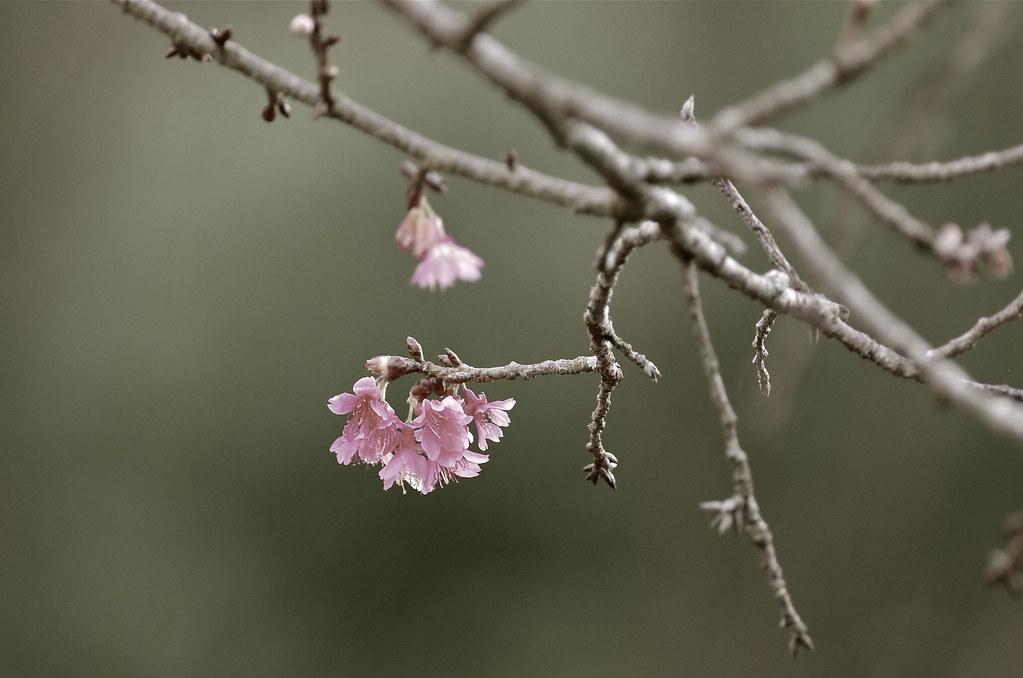 楓林梅雪又春櫻