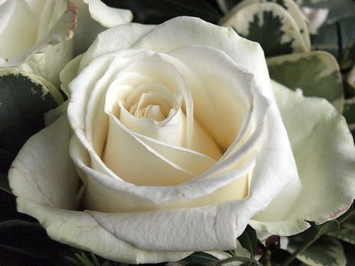 Rose, weiß by WalliNet