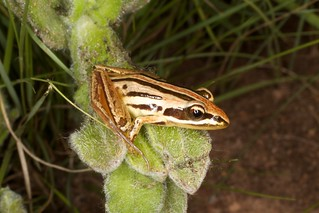 Striped grass frog