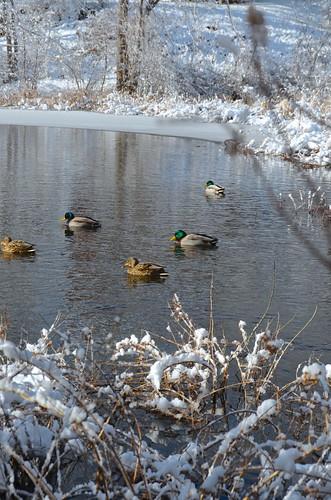 Ducks on the pond by Bell7283 via I {heart} Rhody