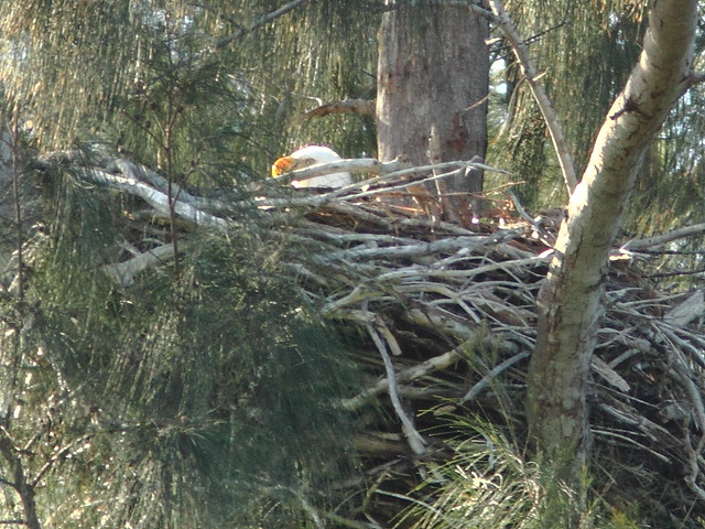 Bald Eagle female incubating 20121227