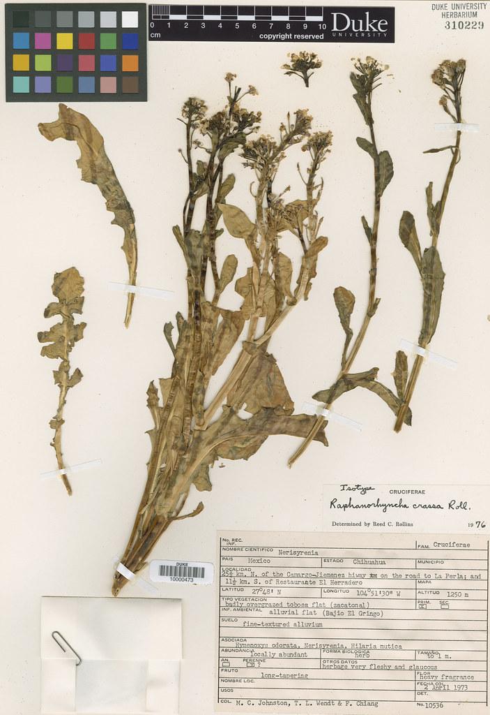 Brassicaceae_Raphanorhyncha crassa