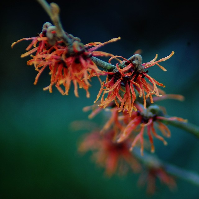 A close up of red Hamamelis blooms against a green background