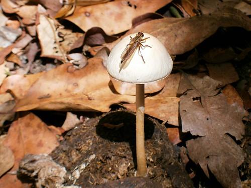 Bug on Mushroom in Manure