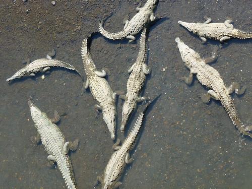 Crocodile Bridge - american crocs 1