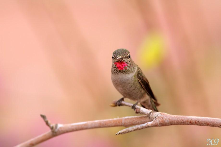 Anna's Hummingbird 010613-4