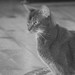 Small photo of Abyssinian