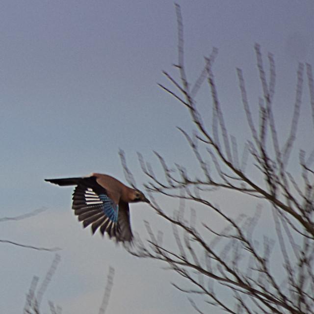 Bel oiseau <del/>à identifier geai des chênes» width=»600″ /></a><p class=