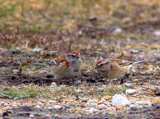 American Tree Sparrows 4-20130110