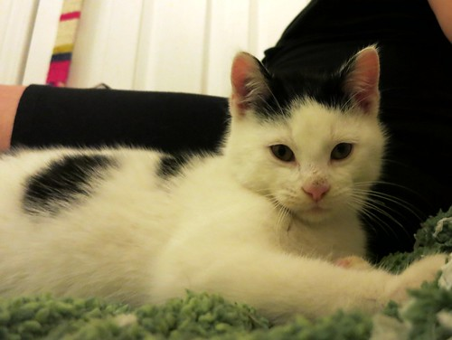 Corwin - Foster from Toronto Cat Rescue