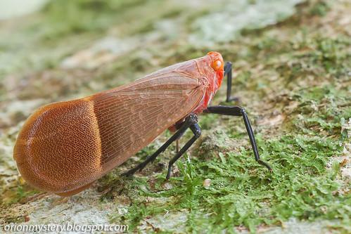 Fulgoridae, Scamandra hecuba IMG_6090 copy