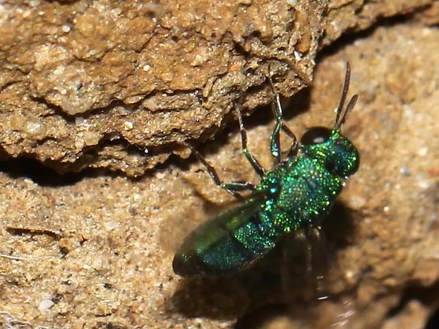 Cuckoo wasp 2 6432