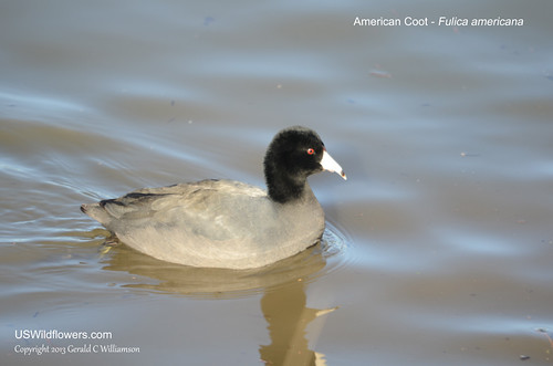 American Coot - Fulica americana by USWildflowers, on Flickr