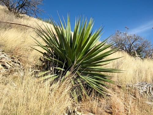 arizona whetstonemountains agavepalmeri palmeragave