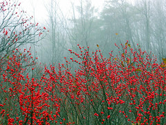 November Berries, Maine