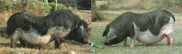 Thu, 01/19/2006 - 11:14 - Leping pig breed