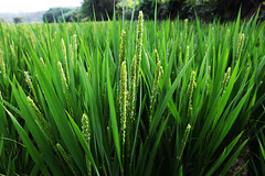 flower(0.0), wheatgrass(0.0), chrysopogon zizanioides(0.0), lawn(0.0), prairie(1.0), sweet grass(1.0), field(1.0), grass(1.0), plant(1.0), herb(1.0), hierochloe(1.0), green(1.0), meadow(1.0), plant stem(1.0), grassland(1.0),