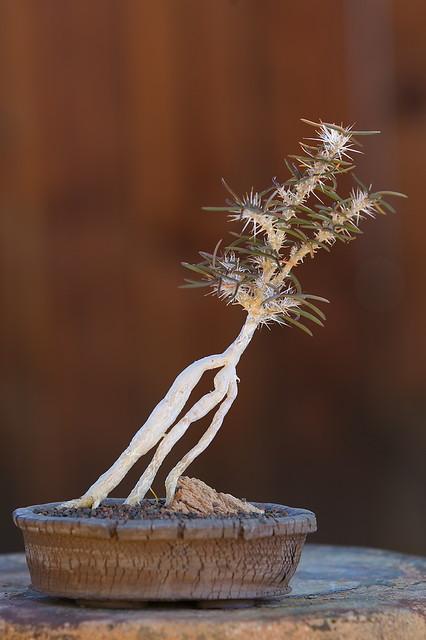 Euphorbia subpeltatophylla
