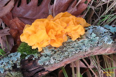 leaf, yellow, tremella, mushroom, tremellales, auricularia, auriculariaceae, tremellaceae, macro photography, flora, fungus, tremellomycetes, edible mushroom,