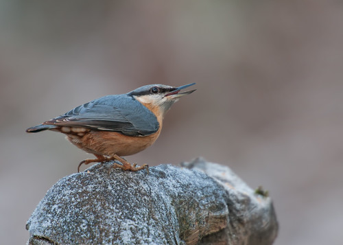 Nuthatch Looking Skywards by Andy Pritchard - Barrowford