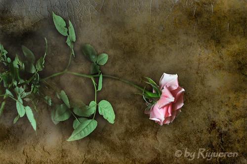 Come una rosa