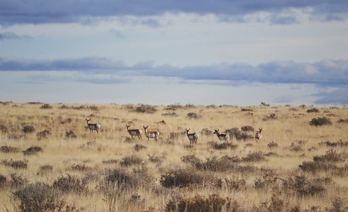 Pronghorn along Buffalo Range Rd.