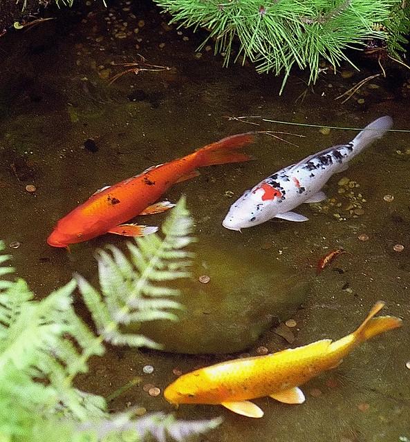 San francisco golden gate park japanese tea garden for Fish and farm sf