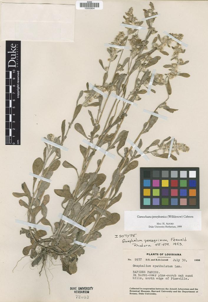 Asteraceae_Gnaphalium peregrinum