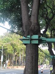 管理機制未整合,讓台南市公園國小外行道樹乏人問津,學校為了好管理,所以被老樹上鎖;經環保團體陳情,才有轉機。