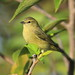 Orange-crowned Warbler - Photo (c) Kenneth Cole Schneider, some rights reserved (CC BY-NC-ND)
