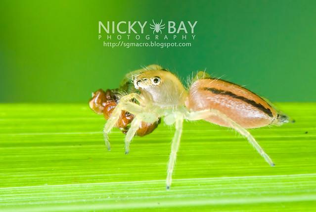 Jumping Spider (Salticidae) - DSC_9624