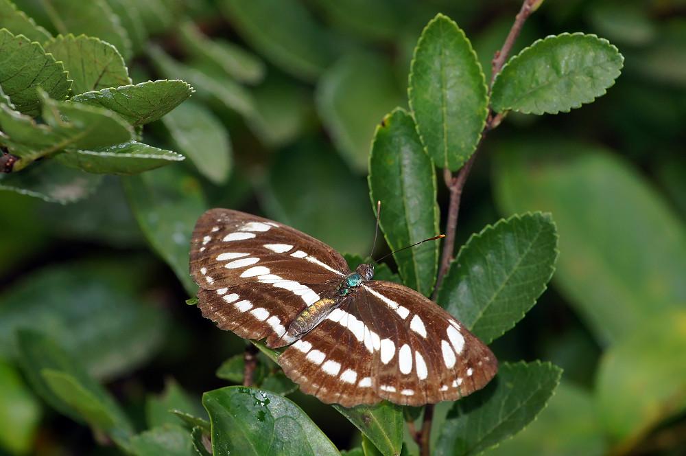 豆環蛺蝶(琉球三線蝶)