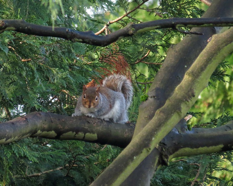 Squirrel Tree2